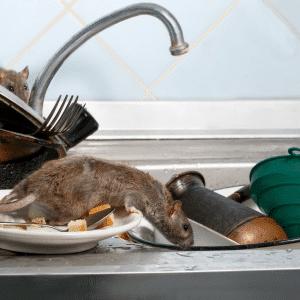 Desratización en Chile: identificación de nidos e instalación de cerco sanitario.Desratización de entretecho.Servicio garantizado. Adiós ratas y guarenes.