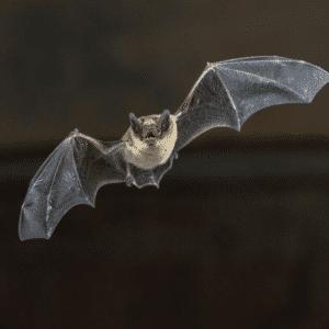Servicio control de murcielagos. Trabajamos con contr para que desparezcan estos murciélagos. Efectividad 100% Garantizada.